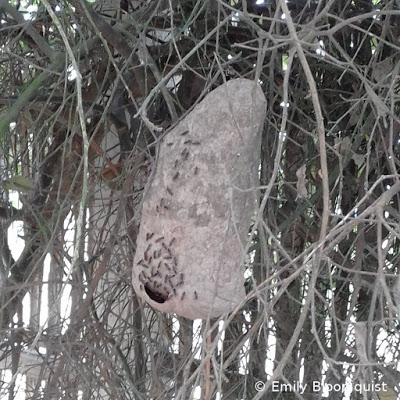 Wasp nest hanging in tree