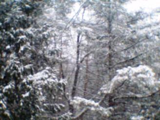 Conifes in Snow 001