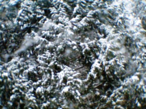 Conifers in the Snow 004