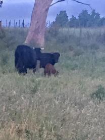 vinnie-the-calf