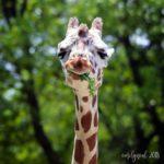 Back when a giraffe was special