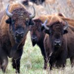 Finding a bison in a haystack