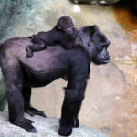 My gorilla baby is one