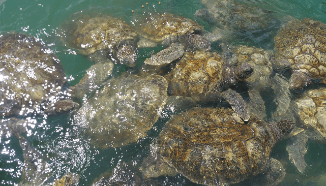 Swim With Sea Turtles: Cayman Islands