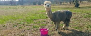 Alpaca farm tour in North Georgia