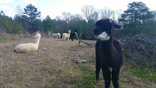 A Visit To An Alpaca Farm In North Georgia Emily Is A