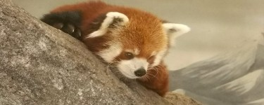 Meet a red panda a the Chattanooga Zoo