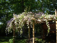 rose covered pergola | Emily's Garden