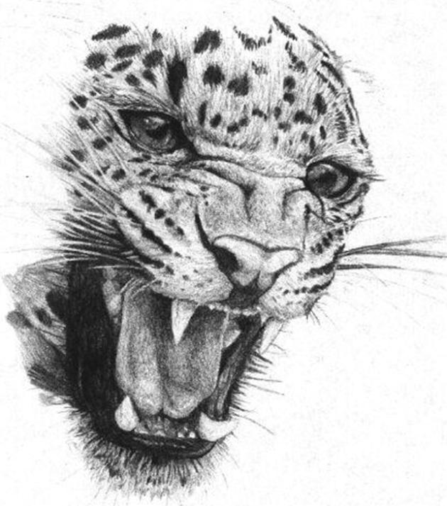 Wild Leopard Facial Study