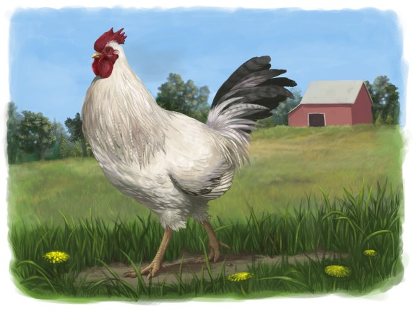 Domestic Chicken Emily Willoughby Art