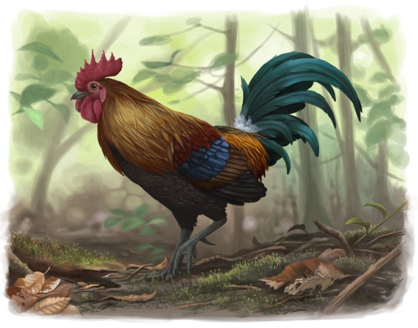 Wild Junglefowl Emily Willoughby Art