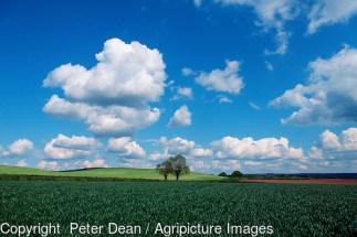 Wheat leaf canopy in foreground of farmland scene. Devon , May