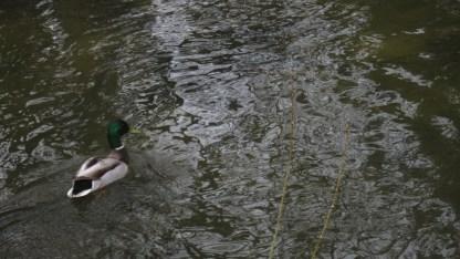 A male mallard duck swimming on the creek