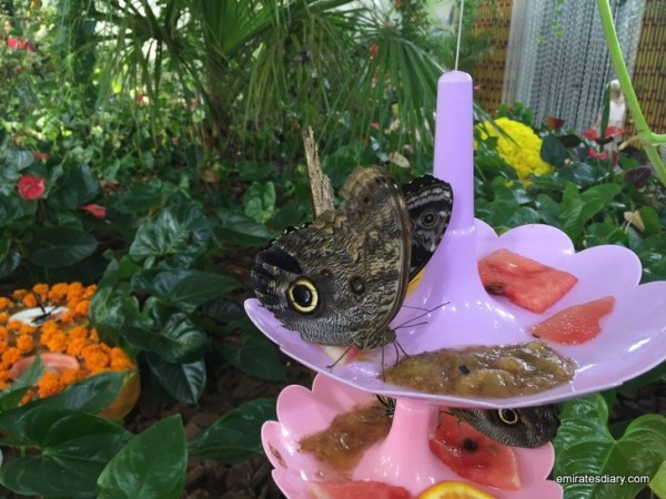 17-butterfly-garden-dubai-pictures-2015-emiratesdiary-017