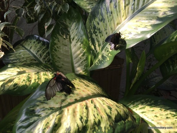 31-butterfly-garden-dubai-pictures-2015-emiratesdiary-031