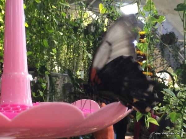 39-butterfly-garden-dubai-pictures-2015-emiratesdiary-039