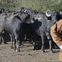 La cría de búfalos se consolida en Entre Ríos