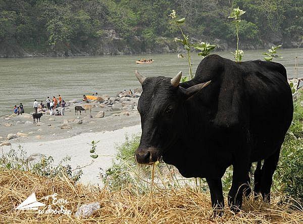 krowa_na_plaży