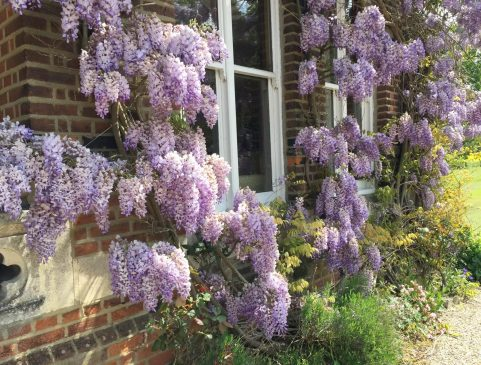 Home Essex Wisteria Sunshine Countryside