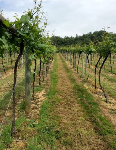 Bolney Wine Estate Sussex Tasting English Vineyard Valentines Sparkling Lunch Vines Grapes England
