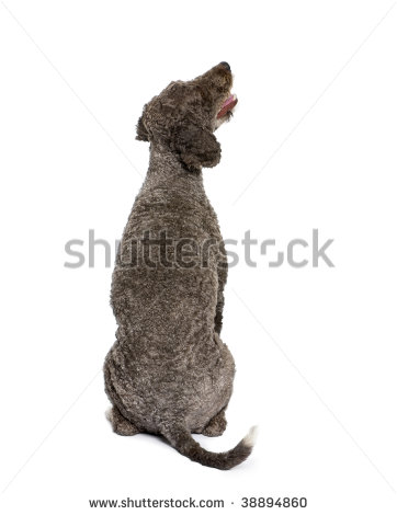 stock-photo-rear-view-of-spanish-water-spaniel-dog-years-old-sitting-in-front-of-white-background-38894860