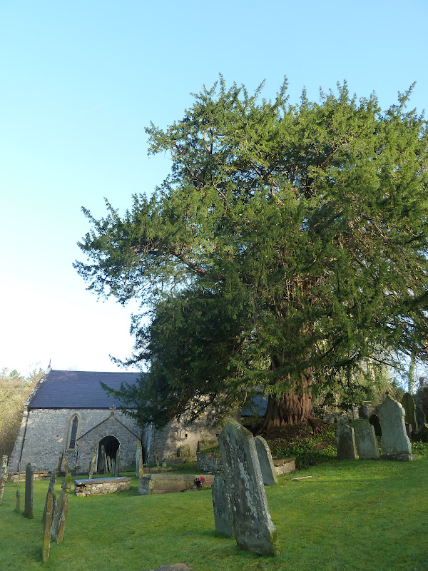 Yew Tree in Gower