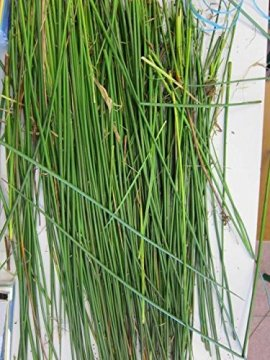 Green Rushes