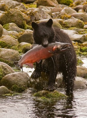 A Candian bear catching his lunch