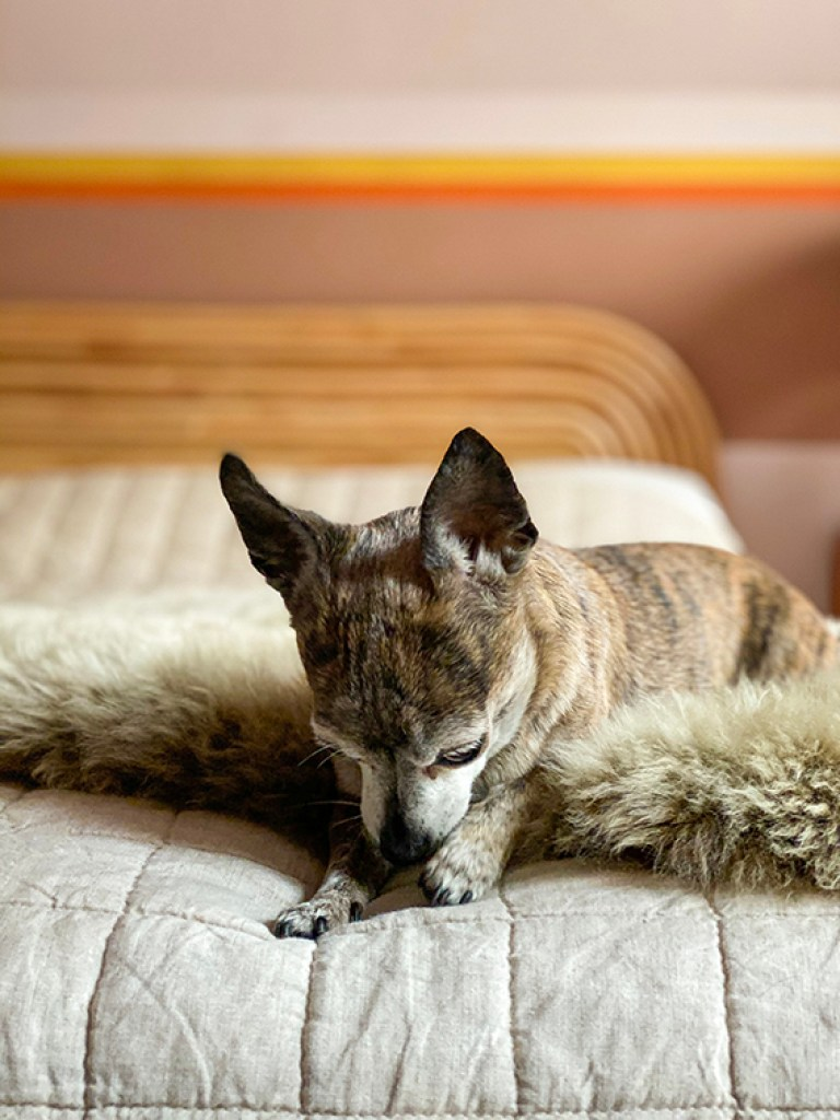 chihuahua on platform bed with sheepskin rug