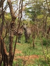 Zebras...obs