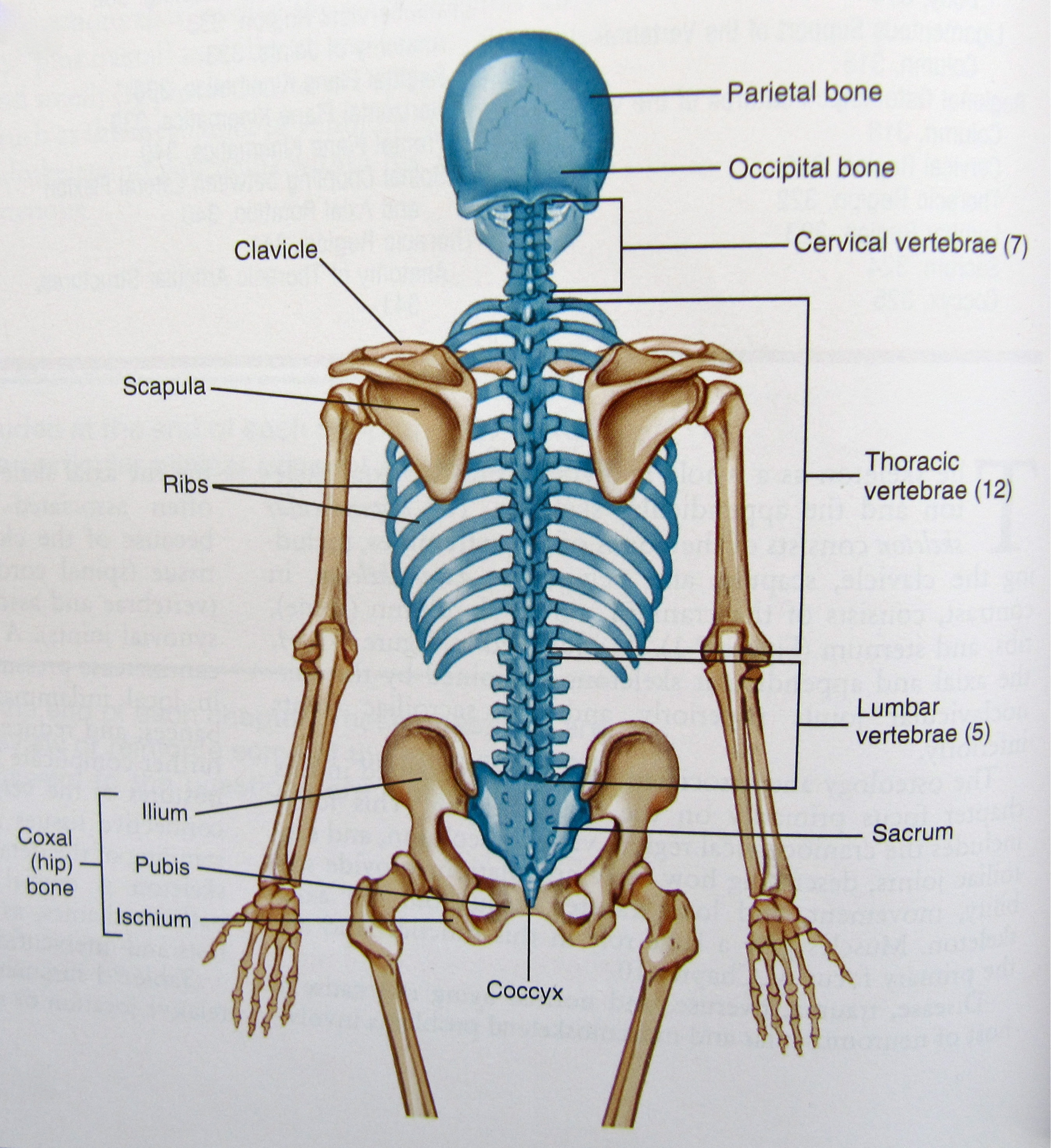 face bone diagram wiring in series axial skeleton dramatic context