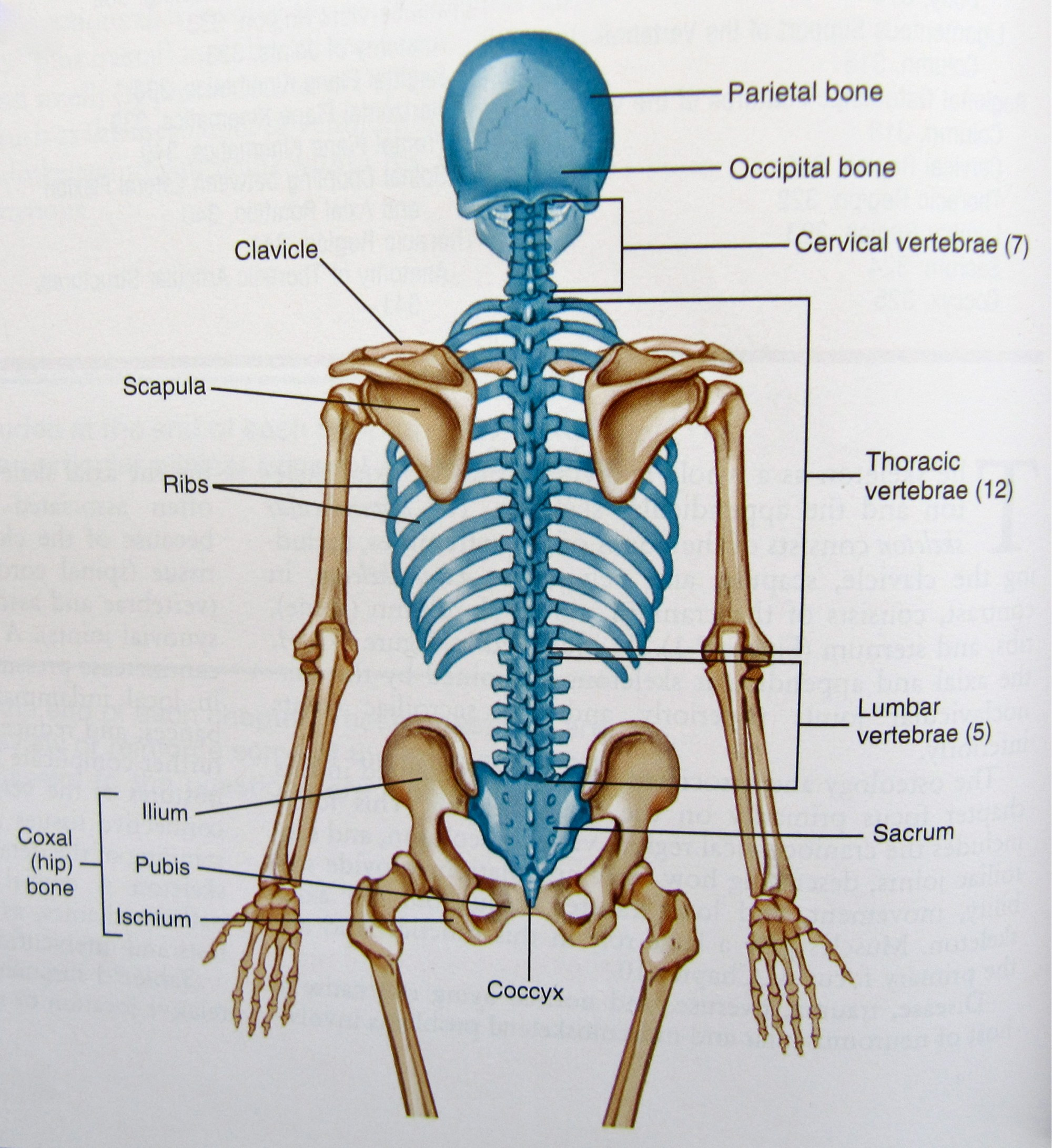 hight resolution of axial skeleton diagram