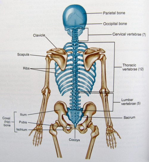 small resolution of axial skeleton diagram
