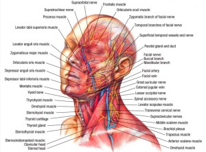 muscles_of_the_head | dramatic context
