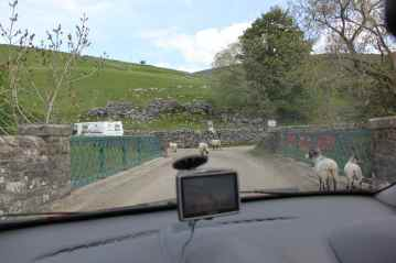 Sheep in the road!
