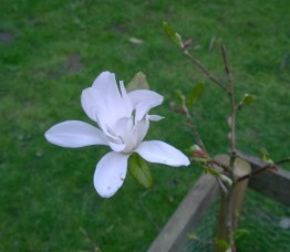 Magnolia at Golden Acre Park