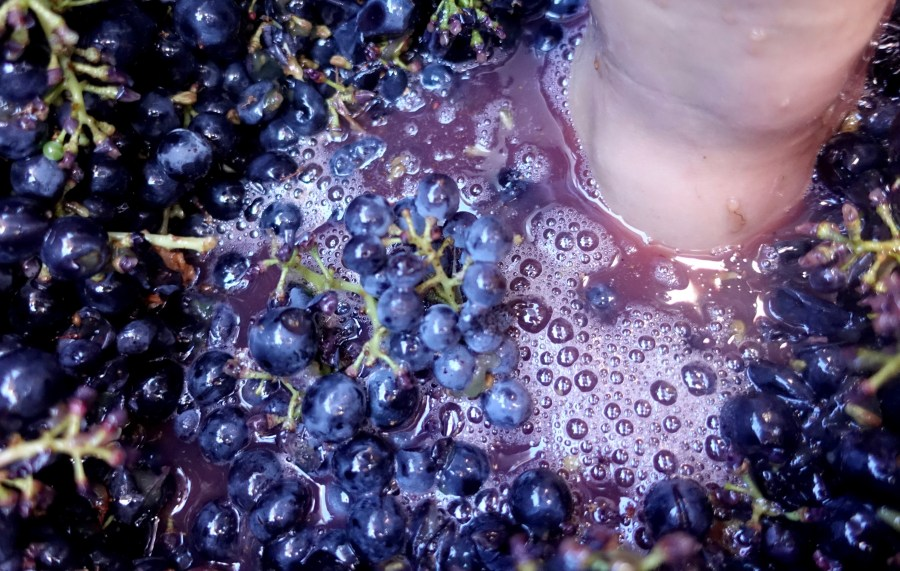 Grape stomping experience
