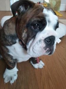 Three months-old English Bulldog puppy