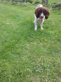 Freddie the male English Springer Spaniel ready to play