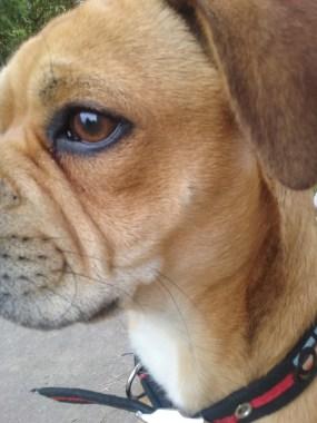Portrait of Ziggy the Cross Pug/Cocker Spaniel/French Bulldog/Boston Terrier