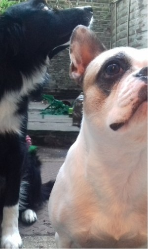 Dog sitting and focusing, and Millie the French Bulldog