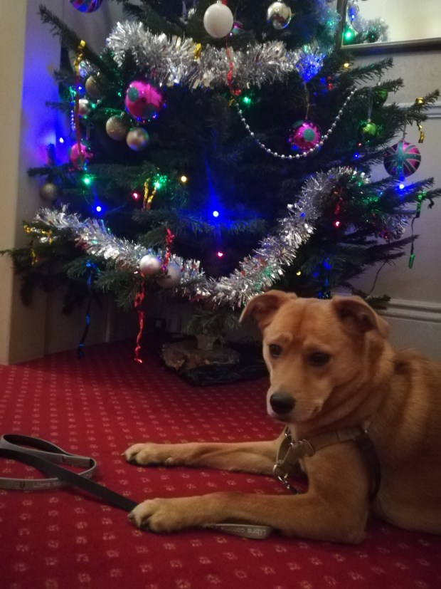 Georgie, the crossbreed Golden Retriever/Labrador, posing in front of the Christmas tree