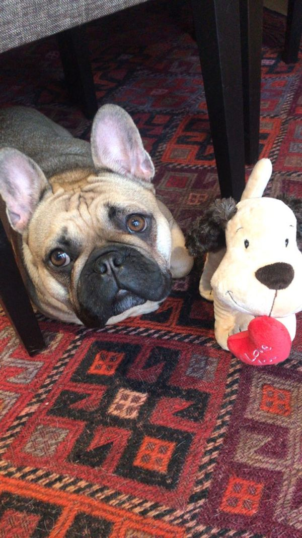 Lola the French Bulldog, for her second birthday