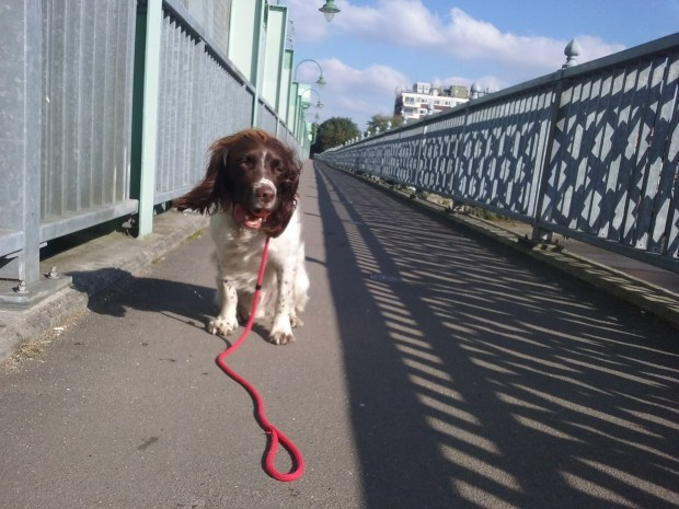 Freddie, our English Springer Spaniel, having a great time during his dog Walking