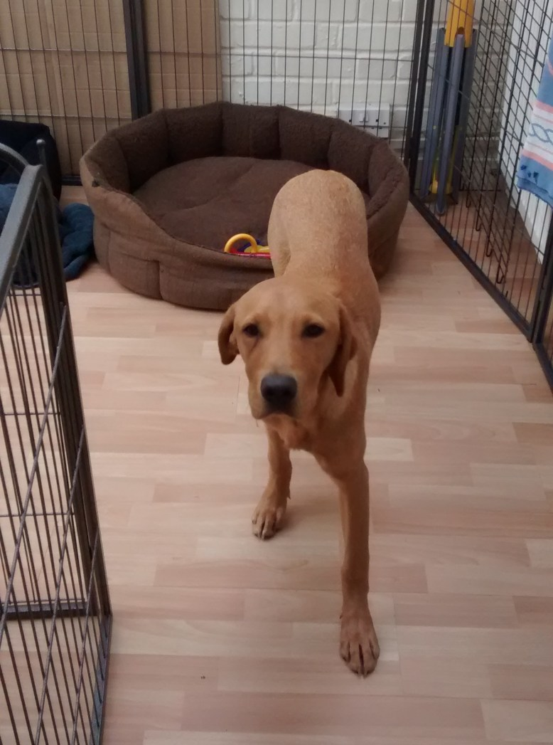 Whisky, our Labrador puppy, ready for his dog Day Care
