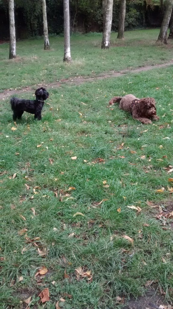 Willow, our Havanese, and Humphrey, our Cockapoo, for their dog Walking
