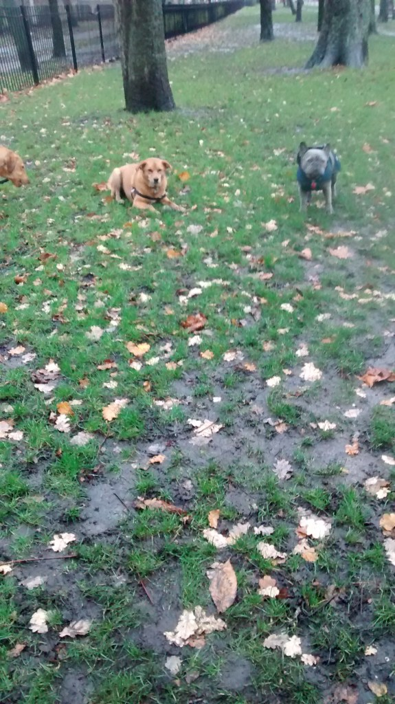 Whisky, our Labrador puppy, Georgie, our crossbreed Golden Retriever/Labrador and friend, during their dog Walking