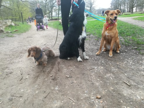 Rupert, theMiniature long-haired Dachshund, Chester, the Border Collie, and Georgie, the rescued crossbreed Golden Retriever/Labrador, during their fun dog Walking in London with EmmanuelleChaix