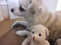 Rusty the Chihuahua/Chinese mix with his favourite teddy toy