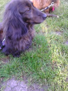 Sark the miniature long haired Dachshund